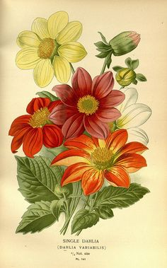 Single Dahlia (Dalhia Variabilis) / Favourite flowers of garden and greenhouse /. London and New York :Frederick Warne & co.,1896-97..
