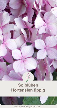 Sieben Gründe, warum Hortensien im Garten oder auf dem Balkon nicht blühen, und wie du diese Fehler vermeidest. #Garten #Pflanze #Gartenidee
