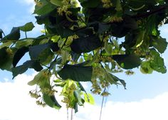 T.platyphyllos-ramo-fior..jpg  TIGLIO