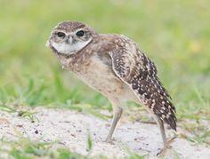 Burrowing Owlet by ElizabethE via http://ift.tt/2dDdD5w