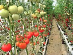 High-tech agriculture: The extraordinary profits of hydroponic vegetable farming