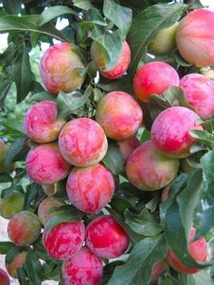 Pin on Flowers/fruits – Color in Nature: Fruits and Vegetables – Obst Fruit Plants, Fruit Garden, Fruit Trees, Trees To Plant, Colorful Fruit, Exotic Fruit, Tropical Fruits, All Fruits, Healthy Fruits