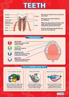 From our Science poster range, the Teeth Poster is a great educational resource that helps improve understanding and reinforce learning. Gcse Science, Science Biology, Science Lessons, Teaching Science, Teaching Resources, Biology Facts, Human Body Facts, Science Anchor Charts, Human Anatomy And Physiology
