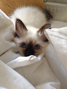 best images ideas of ragdoll kitten / kitty - most affectionate cat breeds Siamese Kittens, Cute Cats And Kittens, Baby Cats, Kittens Cutest, Funny Kittens, Bengal Cats, Pretty Cats, Beautiful Cats, Animals Beautiful