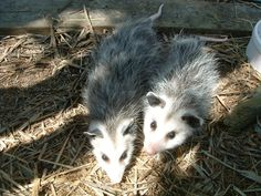 Outer Banks Wildcare  baby possums are growing