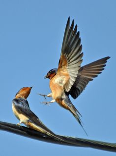 https://flic.kr/p/bEQaiS   Hey, I'm sitting here!   How cute are these two barn swallows?  They were busy working on this years nest.
