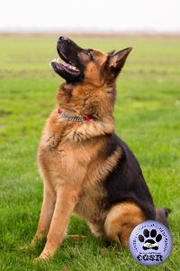 Central German Shepherd Rescue wishes Zak, a young German Shepherd best wishes in his adoption from the rescue. German Shepherd Rescue, German Shepherds, 9 Month Olds, United Kingdom, Animals, Pastor, Animales, Animaux, England