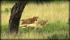 More  The Angama Pride of lions ,Live from the Mara with @BrentLeoSmith and Eggsy! Sunset drive 5-6-17 #safarilive