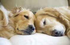 Sleepy Goldens