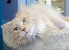 Fabio is a handsome boy who was born around June of 2009 and is a 2 paw declaw.For more information about this animal, email: catquestions@adoptpetshelter.org. Go to our website at www.adoptpetshelter.org and look under the Adoptions menu for...