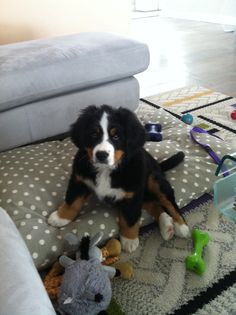 #Bernese mountain dog, #puppy