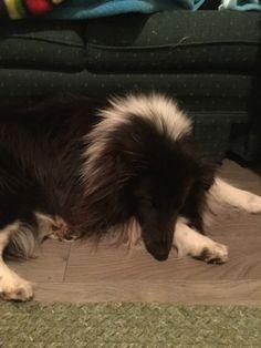 Sleepy Sheltie, Dogs, Animals, Animales, Animaux, Pet Dogs, Doggies, Animal, Animais