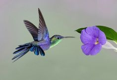 Hummingbird♥ Thunbergia flower♥