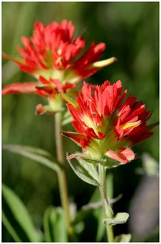 Indian Paint Brush, oklahoma state flower