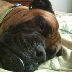 My big bullmastiff baby ;-)