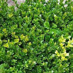 Oltre 1000 idee su piante in vaso su pinterest piante for Bosso in vaso