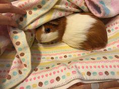 """... why are you lifting my blanket?"" Moruu the #guineapig <3 RT @moruhiro: …なんでめくるんでしゅか?"