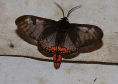 Dysschema marginalis (Erebidae: Arctiinae: Percopini)