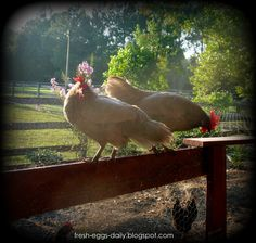A is for Albumen - Decoding Chicken Terms