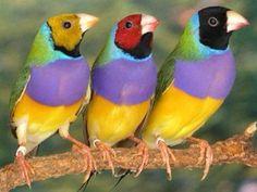 Periquitos multicolores