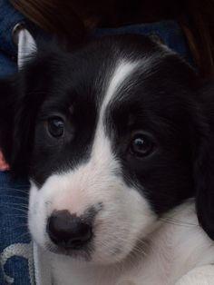 Sproet the sprollie | kruising border collie x Engelse springer spaniel | border collie English springer spaniel mix | dogs | puppy
