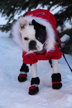 Guizmo the Boston Terrier Didn't Like the Cold Weather... Now he Wears a Red Parka and Boots! ► http://www.bterrier.com/?p=27501 - https://www.facebook.com/bterrierdogs