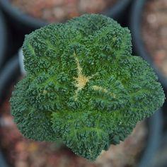 Ariocarpus furfuraceus cv.cauliflower