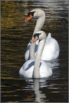 Mute Swans- invasive to Michigan