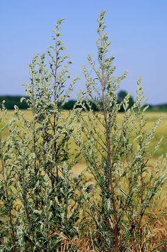 tolles winterfeste gartenblumen die die kalte gut uberstehen auflistung bild der fbdcbfdbafdd healing herbs natural healing