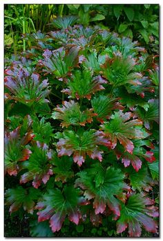 Mukdenia rossii--foliage fans love this plant. Click on image to find out more.
