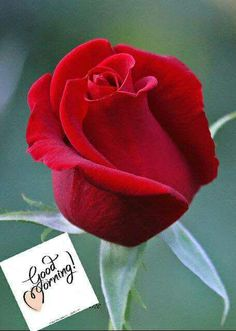 Captivating Why Rose Gardening Is So Addictive Ideas. Stupefying Why Rose Gardening Is So Addictive Ideas. Beautiful Rose Flowers, Amazing Flowers, My Flower, Flower Power, Beautiful Flowers, Beautiful Beach, Beautiful Pictures, Natur Wallpaper, Foto Rose