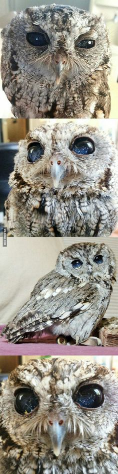 Meet Zeus : The Owl With Eyes Like The Night Sky