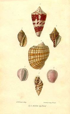 Cochology by John Mawe. Hand colored lithograph, 1823.