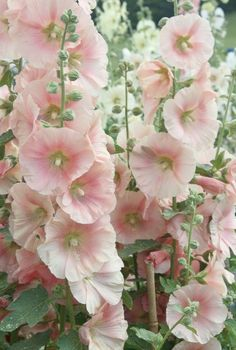 \/\/HOLLYHOCKS - 1) Full sun to partial shade. 2) Rich well drained soil. 3) Biennial but establish a stand of hollyhocks & they'll reseed each year. 4) Water from below. 5) Height - around 8 ft. 6) Attracts butterflies & hummingbirds. #flowers
