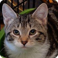 Long Beach, NY - Domestic Shorthair. Meet Cash, a kitten for adoption. http://www.adoptapet.com/pet/14861492-long-beach-new-york-kitten