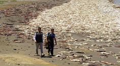 Thousands of dead squid have washed up on the Chilean shores of Santa Maria Island over the past week. The reason for a mass die-out of these large cephalo