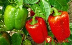 Outstanding Grow Like A Pro With These Organic Gardening Tips Ideas. All Time Best Grow Like A Pro With These Organic Gardening Tips Ideas. Vegetable Garden Fertilizer, Organic Fertilizer, Easy Vegetables To Grow, Organic Vegetables, Types Of Peppers, Red Peppers, Spicy Chicken Sandwiches, Growing Bell Peppers, Pepper Plants