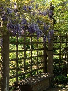 wisteria vine Looks heavenly