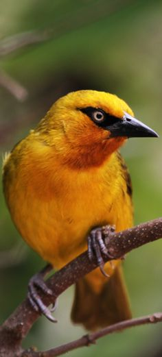 Chestnut Weaver Botswana Bird Identification Photo By
