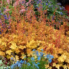 Heuchera x 'Ginger Ale' shade … Shade Perennials, Shade Plants, Love Garden, Shade Garden, Garden Shrubs, Garden Plants, Coral Bells Heuchera, Orange Plant, Woodland Garden
