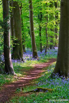 Bluebells in Standish Wood in the Cotswolds near Stroud, Gloucestershire, England, United Kingdom