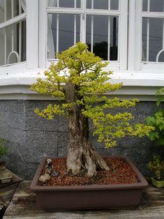 Pra quem ainda não viu, a Duranta,vulgo pingo d´ouro, pode crescer muito. Esta coletei fim de semana passado. Tinha uns 3,5m ou mais. Como sou baixinho, me senti um lenhador, hehehe. O bichinho tav… Bonsai Plants, Bonsai Garden, Bonsai Art, Bonsai Trees, Duranta, Beautiful, Flamboyant, Pots, Blog