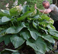 HOSTA hybrid 'Empress Wu' - Funkia, farve: lilla/blågrønt løv, lysforhold: sol/skygge, højde: 135 - 140 cm, blomstring: juni, velegnet til snit.