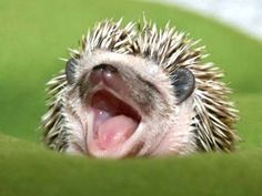 Baby hedgehog! #Hedgehog