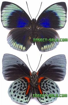 Insect-Sale.com - Agrias beata beata - Agrias-beata-beata.jpg - insecto, insectos, mariposa, mariposas, bichos, escarabajos, polillas, insect, insects, butterfly, butterflies, bugs, beetles, moths, coleoptera, lepidoptera, entomology