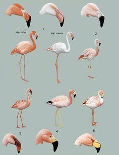 Lesser flamingo types - Google Search