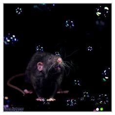 Arkanys 31 - Fancy rat by ~DianePhotos on deviantART
