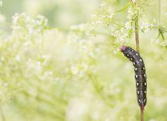 Hyles gallii | by oisandbufoto | http://ift.tt/2aKLpp1