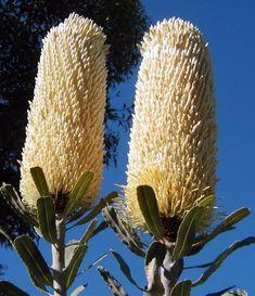 Banksia sceptrum