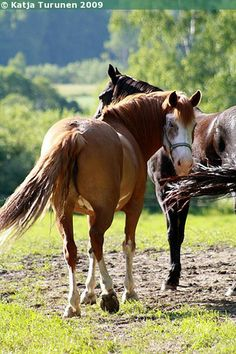 Finnhorse mare Intiaani Mane N Tail, Draft Horses, Horse Breeds, Animals, Animales, Animaux, Animal, Animais